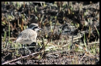 Kittlitz's Plover at Midmar
