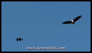 Fish eagle being followed by a pied crow