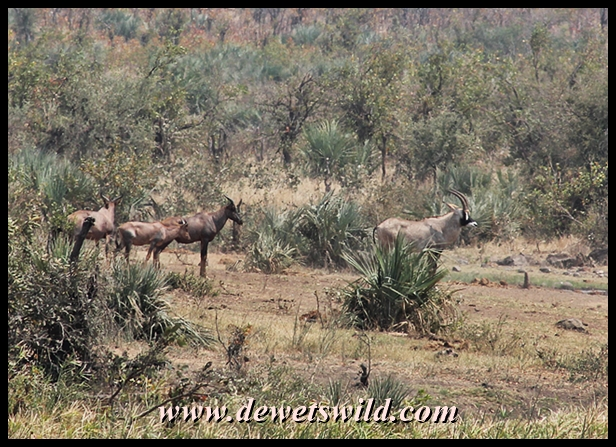 Rare antelope 20130921