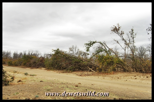 Bent trees and shrubs along the Shingwedzi river