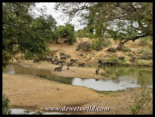 Elephant at a pool in the Shingwedzi River