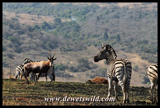 Zebra and Blesbok in Umgeni Valley