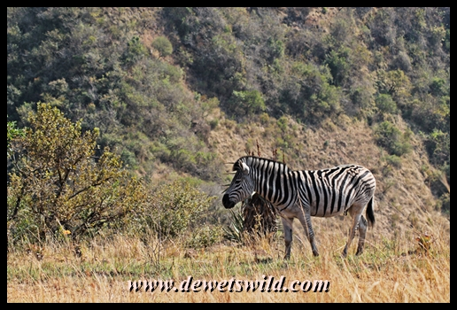 Zebra in Umgeni Valley