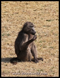 Baboons hang around the camps