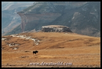 Black wildebeest with mushroom rocks in the background
