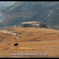 Black wildebeest with mushroom rocks in the background