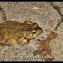 Toad in the road
