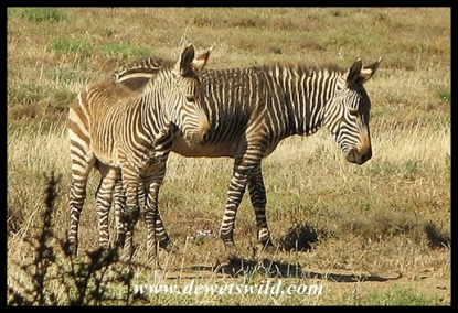 Cape Mountain Zebra foals
