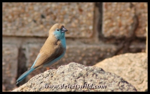 Blue waxbill, Masorini