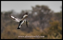 Pied kingfisher, S47 road