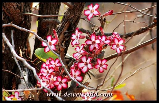 Impala lilies, S47 road