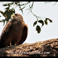 Yellow-billed Kite, Matambeni