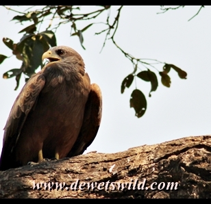 Yellow-billed Kite, Matambeni