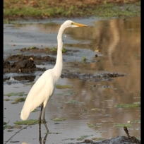 Great egret, Letaba