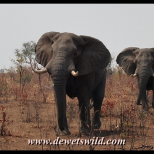 Elephant bulls, Babalala