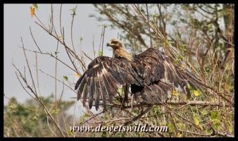 Tawny eagle, Shisha