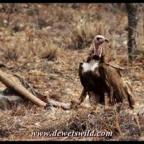 Hooded vulture, Mahonie Loop