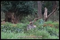 Kudu, Pafuri