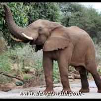 Elephant, Pafuri