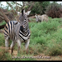 Plains zebra, Pafuri