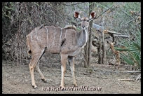 Kudu cow, Pafuri