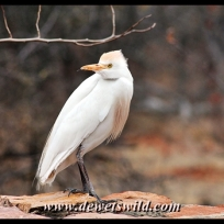 Cattle egret, Pafuri
