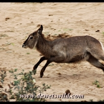 Waterbuck, Kanniedood Loop