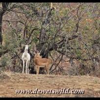 Albino impala, Kanniedood Loop