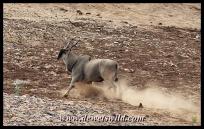 Eland, Mphongolo Loop