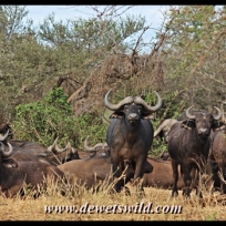 Buffalo, Mphongolo Loop
