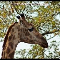 Giraffe, Mphongolo Loop