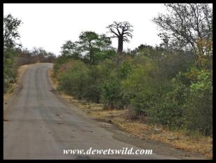 Baobab Hill is a landmark on the way to Pafuri