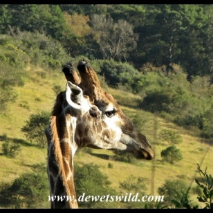 Giraffe at Lake Eland Game Reserve
