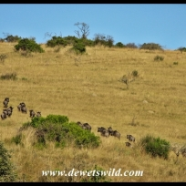 Blue wildebeest at Lake Eland Game Reserve