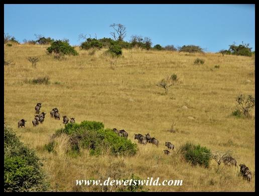 Blue wildebeest at Lake Eland Game Reserve