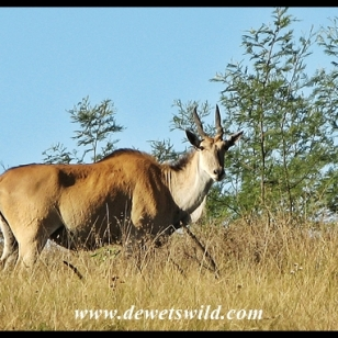 Eland at Lake Eland Game Reserve