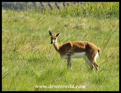 Oribi at Lake Eland Game Reserve