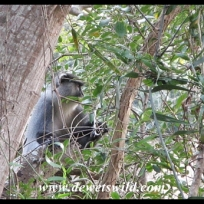 Samango monkey