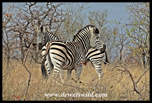 Plains zebra_Kruger_9