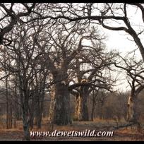 Pafuri is Baobab country