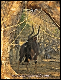 Nyala are very common at Pafuri