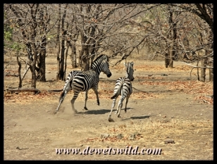 Nervous zebra