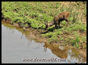Bushbuck drinking from the Luvuvhu