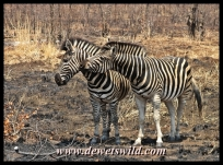 Plains zebra are numerous around Punda Maria