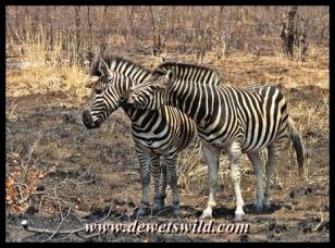 Plains zebra are numerous around Punda Maria