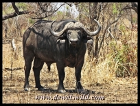 Buffalo are often encountered around Punda Maria