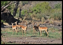 Impala are a familiar sight