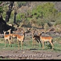 Impala are a familiar sight