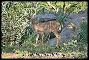 Nyala are very common at Pafuri