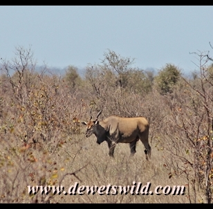 Eland is another of the rarer antelope species often seen at Punda Maria
